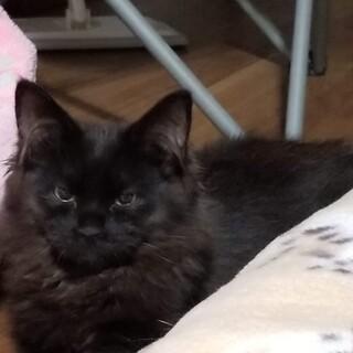 「フラワーちゃん」長毛黒猫の甘えん坊