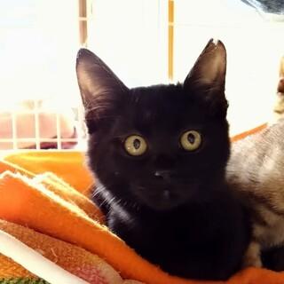 新春お見合い会参加猫、人馴れ300%黒子猫♀
