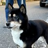 柴犬 優良血統の女の子  サムネイル3