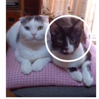 【急募】血統書有り 成猫♂3歳