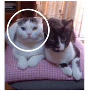 【急募】血統書有り 成猫♀4歳