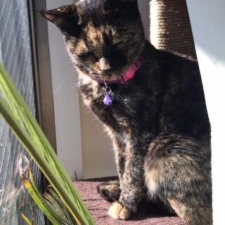 【里親さん決まりました】味のある柄と心優しいサビ猫