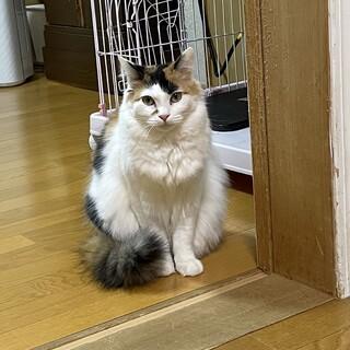 ミーシャちゃん(仮)  〜長毛三毛猫〜
