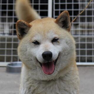 柴犬の女の子 ヒミコちゃん