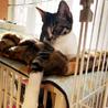 大人猫大好きなキジ白 「モチ」 サムネイル2