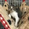 大人猫大好きなキジ白 「モチ」 サムネイル6