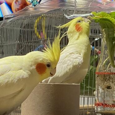 2羽で仲良く小松菜を食べております。