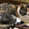 可愛い三毛猫 みのりちゃん サムネイル2