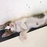 <トライアル待ち>背中と膝が大好きな仔猫