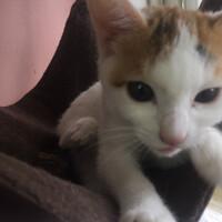 神の島子猫 クーデリア