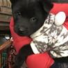 超大型犬と和犬のmixモッコモコ生後2ヶ月半男子
