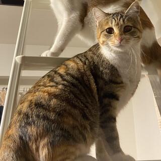とても懐っこい縞三毛のニーナちゃん、約1歳