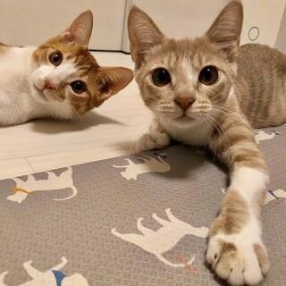 立派な家猫になった仲良し美猫茶白ペア