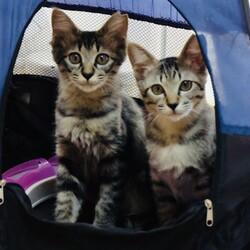 ご予約制『保護猫のずっとのお家探し里親会』土曜日編。 サムネイル2