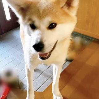 お散歩大好き!穏やかな秋田犬花梨ちゃん♀