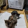 3ヶ月半位の2子猫♀(黒白&サビ)