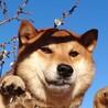 家庭犬まであと半歩、穏やかな男の子甘太郎