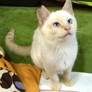 青い瞳の美男子!シャム風の白ねこさん。