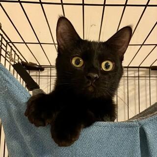【1/16芝浦】黒猫ジジコとキジシロマヤちゃんペア