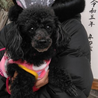 トイプードル(黒)★クロエちゃん6歳 繁殖引退犬