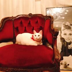 多頭飼育崩壊の現場からレスキューされた白猫スフレ。