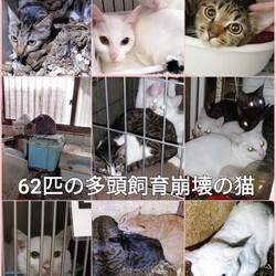 「多頭飼育崩壊の現場からレスキューされた白猫スフレ。」サムネイル2