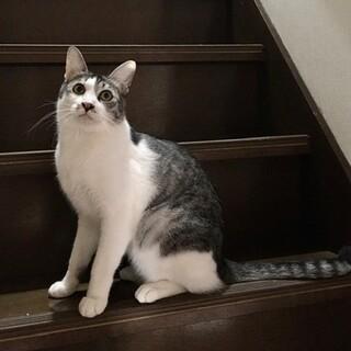 藤井寺お見合い会参加猫テラ♂グレーサバ白