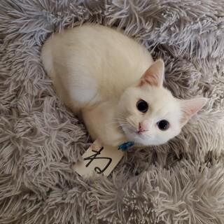 甘えん坊のブルーアイの白猫ちゃん