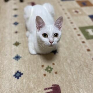 きれいな白猫さん【1/17ミニ譲渡会】
