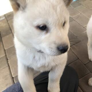 北海道犬2ヶ月の女の子