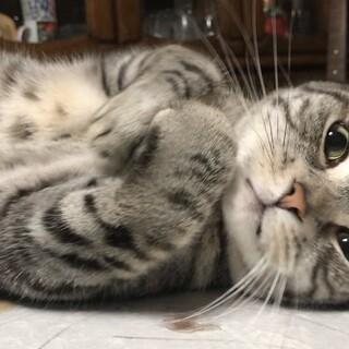 【動画あり】ゴロゴロ人懐っこいアメショの成猫です