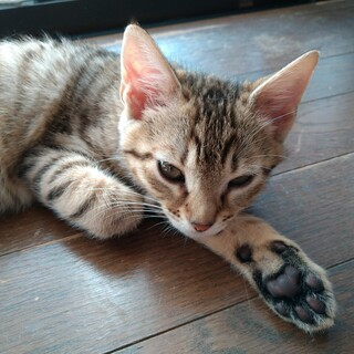 10月生まれの子猫 数字シリーズ第4弾 ミリ♀