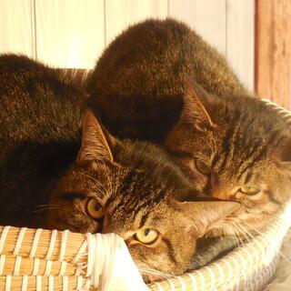 うりふたつキジトラ兄妹♪2匹でお願いします♪