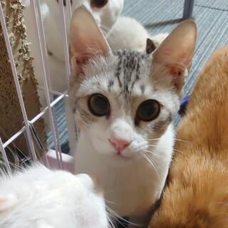 子猫 キジシロ 男の子