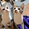 子猫 キジシロ 男の子 サムネイル2