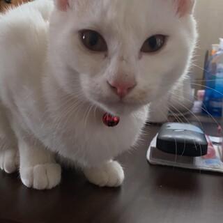 白猫ちゃんのメス生後4ヵ月位。里親様を募集。