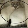 【(仮名)ハク】奥ゆかしいシャム系美人猫 サムネイル2