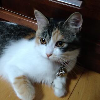 9ヶ月の三毛猫です