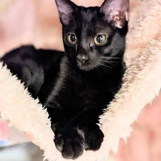 人懐っこく 性格もいい 美猫 モニカ