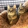 仔猫♀3〜4か月【1/24面談会】 サムネイル2
