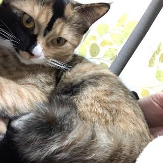 雑種 カギ尻尾のサビちゃん 6ヶ月の子猫です!