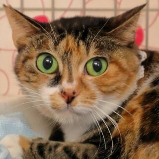 綺麗なお目目の可愛い三毛猫さんです♡
