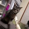 キジトラの雑種の子猫です。