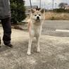大人しくてお利口な秋田犬の男の子 サムネイル2
