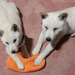 北海道犬のダイチ