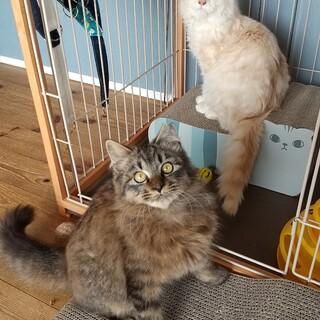 ふわふわ半長毛の兄弟猫