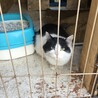 白と黒のハチワレの猫です