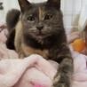 綺麗なパステルサビのおっとりネコちゃん