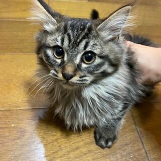 長毛の可愛い女の子ハーゲン(仮)ちゃん