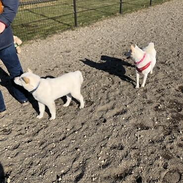 赤い首輪の白い芝犬ちゃんと仲良しです。スピッツのお父さんもおやつ狙いで好きみたいですw